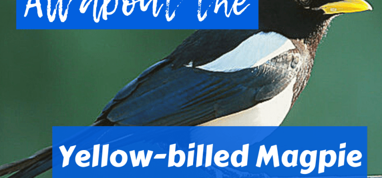 All About the Yellow-billed Magpie