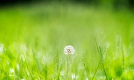 Photo de la semaine : Fleur de Pissenlit