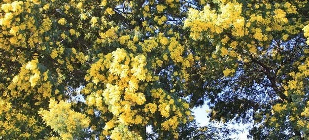Massif du Tanneron – La route du Mimosa