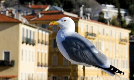 Photo de la semaine : Goéland argenté