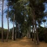 Forêt Pins Eucalyptus, F. Fillon©