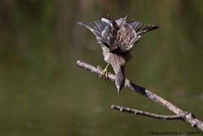 Heron-Bihoreau-0202-Vaugrenier