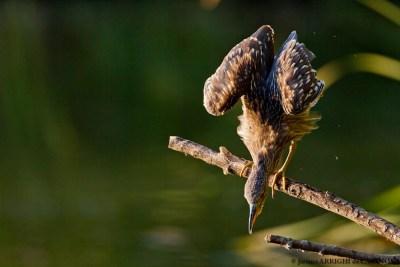Heron-Bihoreau-0391-Vaugrenier