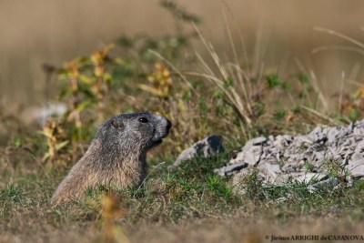 Marmotte-1575-Beuil