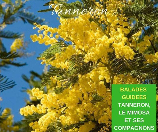 Balades guidées « Tanneron, le mimosa et ses compagnons »