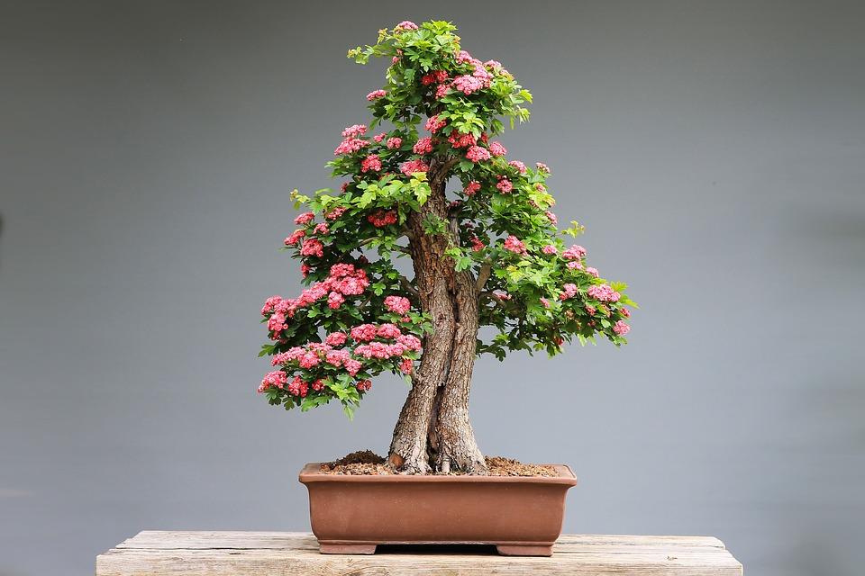 Initiation à l'art du bonsaï aux Musées des Arts Asiatiques de Nice