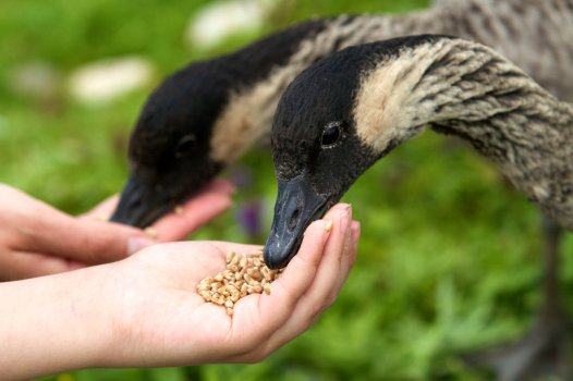 Visitors hand feeding Nenes at Slimbridge