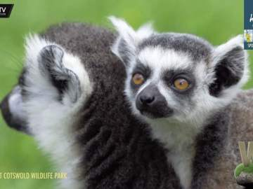 One Minute Wild – Lemurs