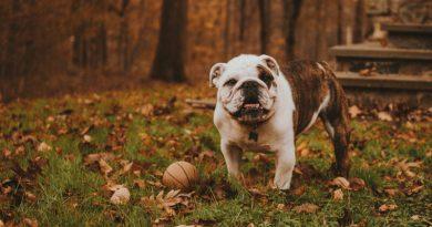bulldog with ball