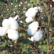 cotton-seeds-small-gardens