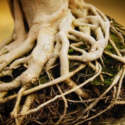 Gnarled Tree Roots --- Image by © Royalty-Free/Corbis