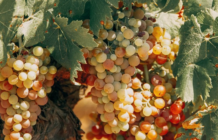 飢荒時期的葡萄