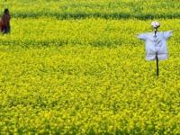 GM Food Crops Illegally Growing In India: The Criminal Plan To Change The Genetic Core of the Nation's Food System