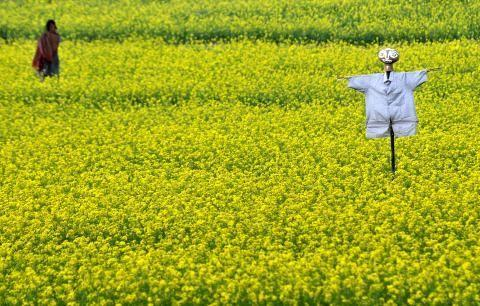 Development And India: Why GM Mustard Really Matters