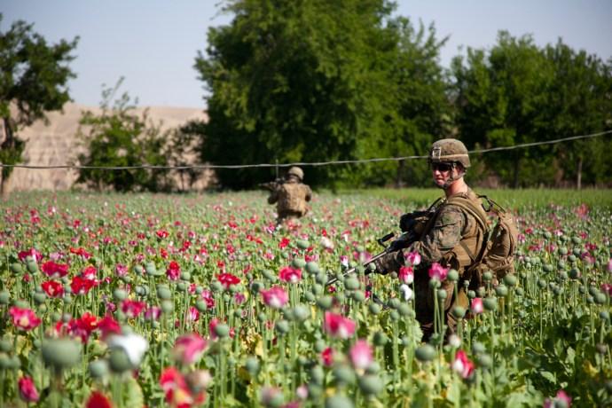 opium-fields