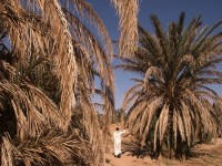 A man walks past drying palm trees in the Tafilalet oasis on October 27, 2016 near Morocco's southeastern oasis town of Erfoud, north of Er-Rissani in the Sahara Desert. The oasis of Tafilalet near Er-Rissane is at risk of disappearing as the area is drying up due to global warming.  / AFP / FADEL SENNA / TO GO WITH AFP STORY BY JALAL AL-MAKHFI         (Photo credit should read FADEL SENNA/AFP/Getty Images)