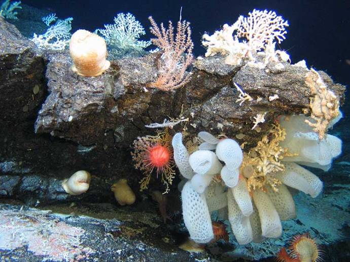 On hard substrata, frequently observed epilithic organisms include corals, actiniarians, hydroids, sponges, ascidians and crinoids - from 2011 seamounts expedition in the SW Indian O_C_IUCN [fwdslash] NERC