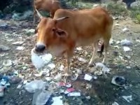 "Hindutva And Cow: Love For Cow or Hatred For ""Others""?"
