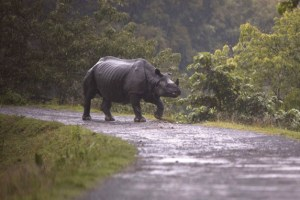 In this Sunday, July 9, 2017, photo, a One horned Rhinos looks for a higher ground in flooded Kaziranga national park in Kaziranga, 250 kilometers (156 miles) east of Gauhati, India. Police are patrolling for poachers as rhinoceros, deer and buffalo move to higher ground to escape floods inundating an Indian preserve. Kaziranga National Park has the world's largest population of the one-horned rhinoceros and is home to many other wildlife. (AP Photo/ Anupam Nath)