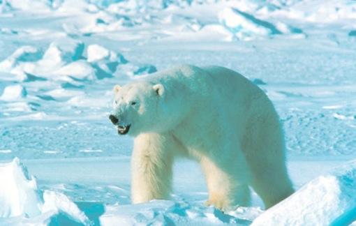 Polar Bear. Photo: US Fish and Wildlife Service.