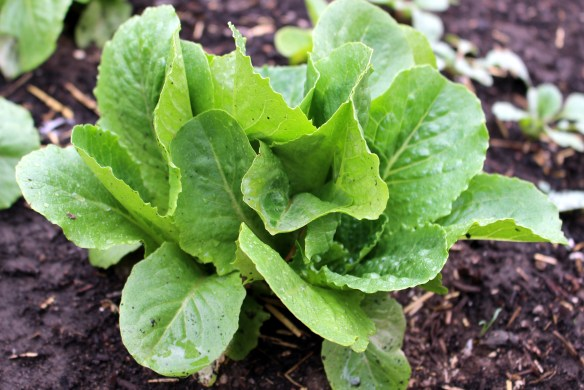 Lettuce in my kitchen garden