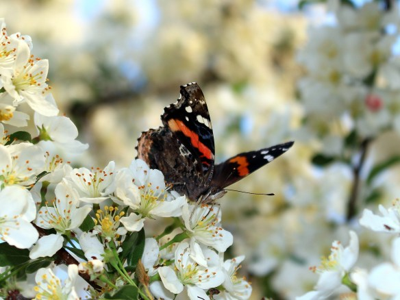 Butterfly in crabapple