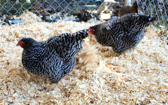 Chickens spreading wood chips