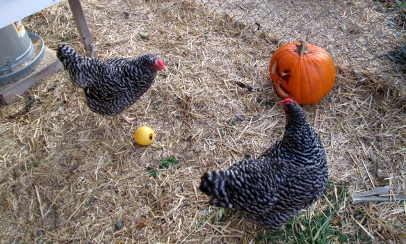 Chickens with jack-o-lantern