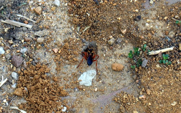 Great Golden Digger Wasp building a nest