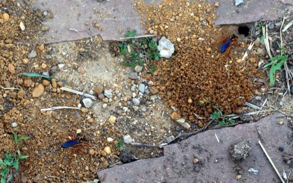 Great Golden Digger Wasps building nests