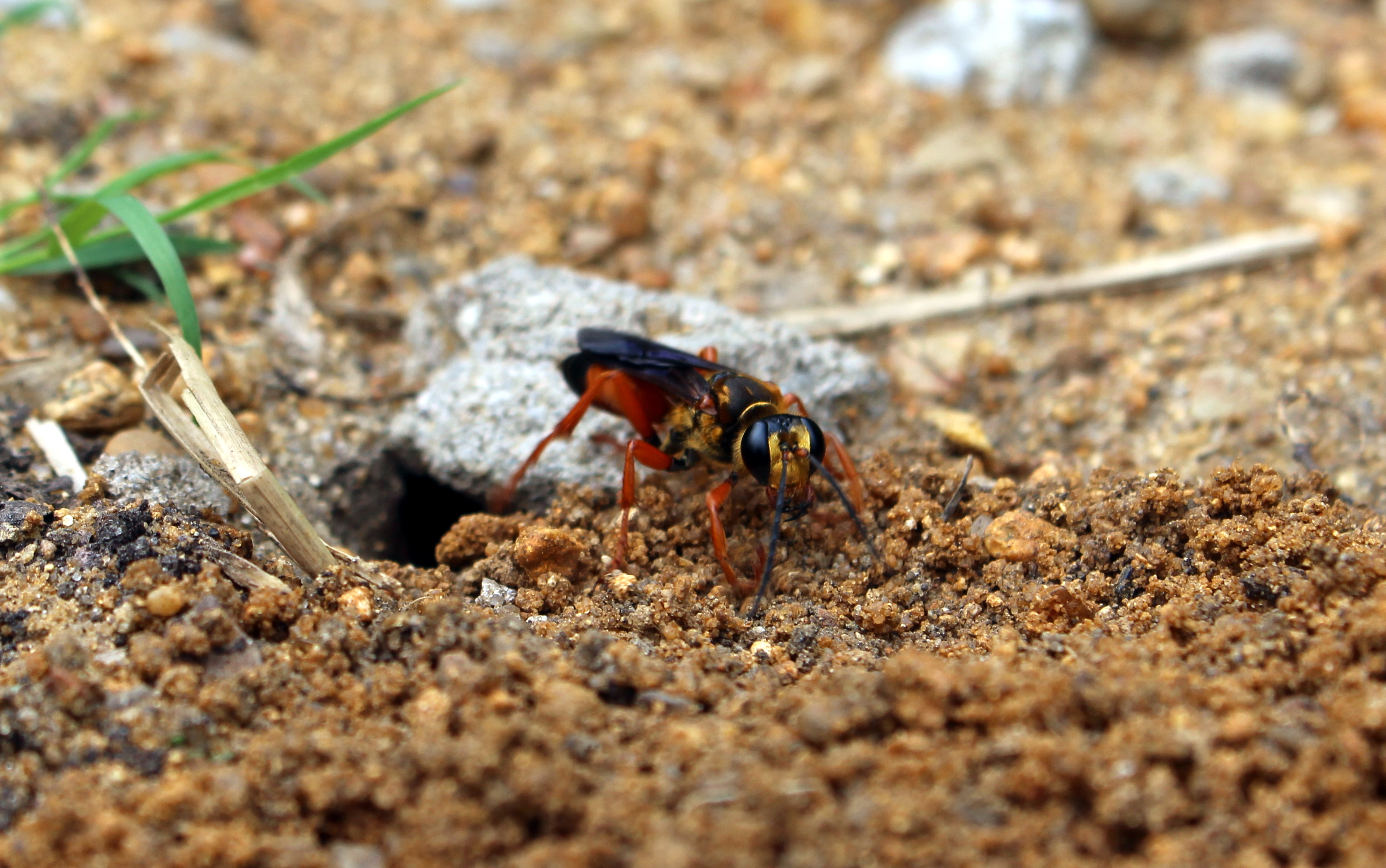 great golden digger wasp the hardest working bug in the garden
