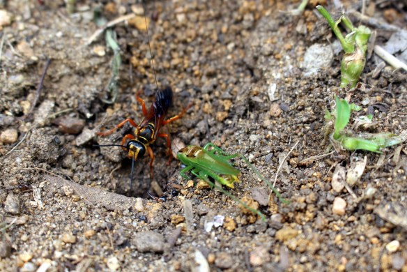 Great Golden Digger Wasp with prey