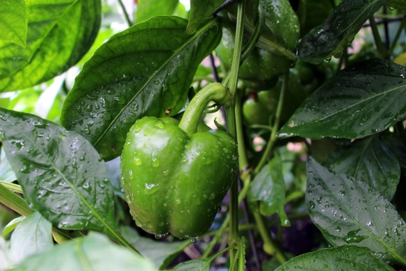 Peppers: Eight cultivars to grow in your garden