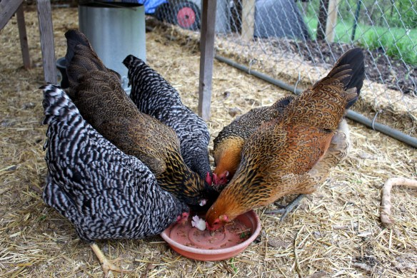 What to Feed Chickens: My Tips