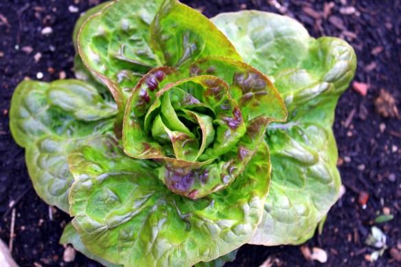 Arctic Crisp lettuce