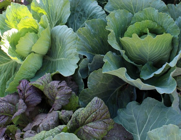 cabbage and mustard greens