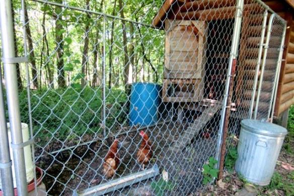Adopting rescue chickens