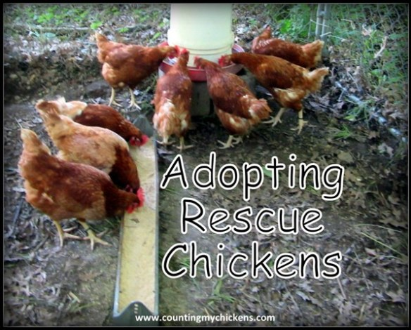 Adopting rescue chickens