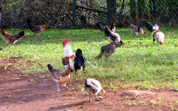 Counting Chickens in Kauai