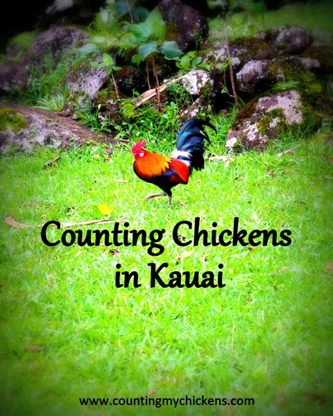 Counting Chickens In Kauai Counting My Chickenscounting My Chickens