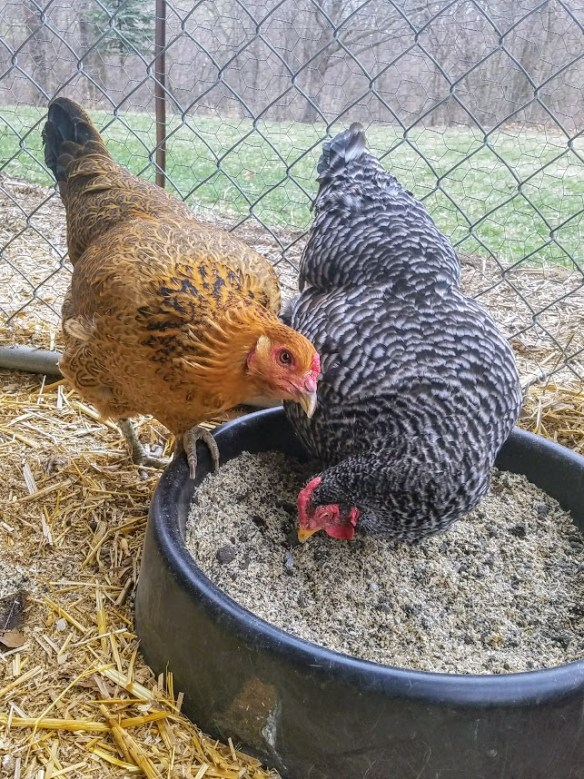 How to Make a Dust Bath for Your Chickens