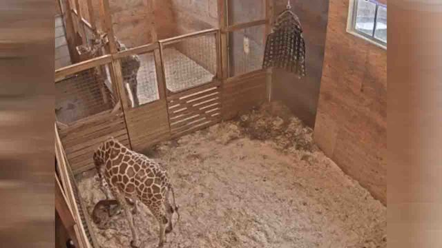 April the giraffe_1552755828352.jpg_77729601_ver1.0_640_360_1552757955409.jpg.jpg