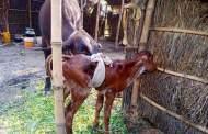 बिहार के बेगूसराय में पहली बार आईवीएफ तकनीक से गाय ने जना बछिया