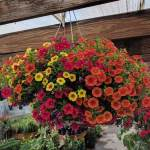 Mixed Calibrachoa hanging basket