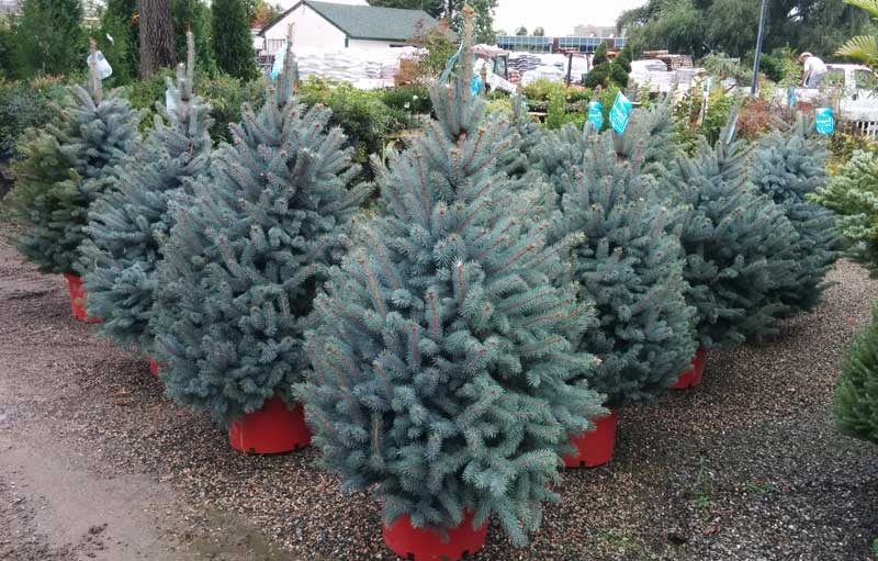 Fat Albert Blue Spruce
