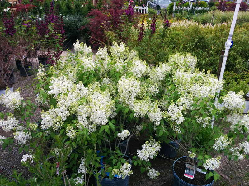 Fragrant White Lilacs in full bloom.