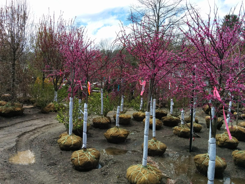 Appalachian Red Red Buds in flower