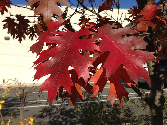 Red Oak leaves displaying gorgeous red fall color