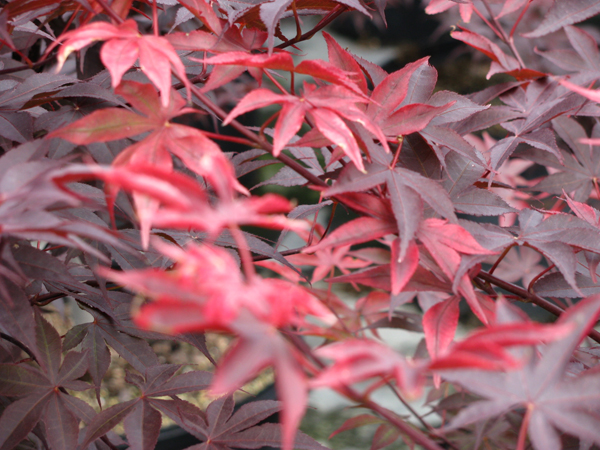 Bloodgood Japanese Maple Leaf Color