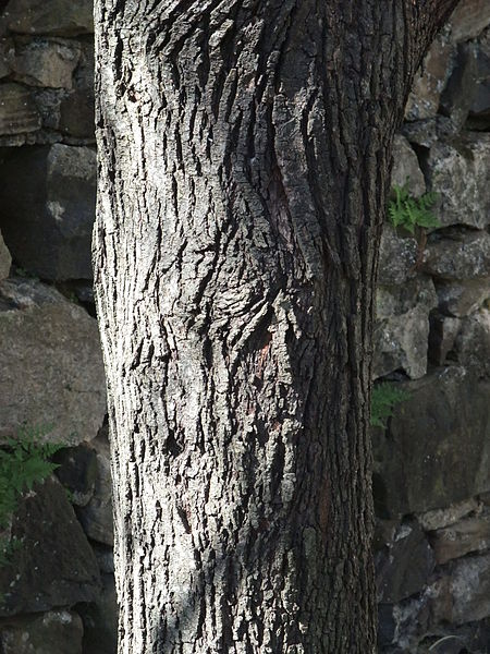 Amelanchier canadensis autumn Brilliance Shadblow Serviceberry Bark texture close up